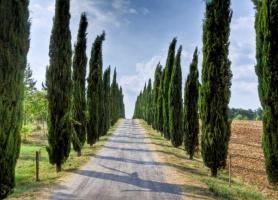 درخت نمادین توسکانی، ایتالیا