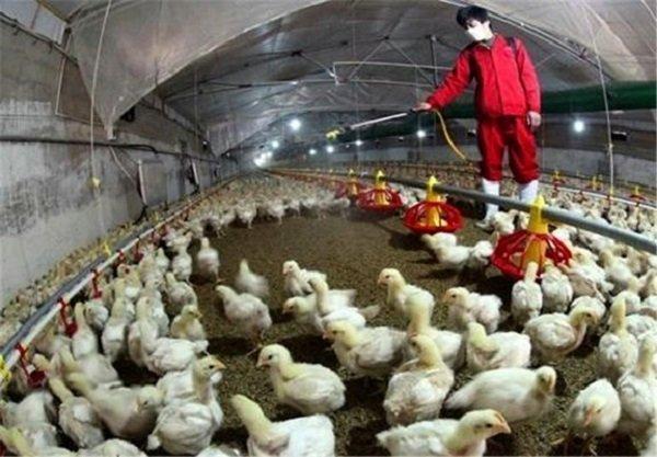 توصیه های بهداشتی برای جلوگیری از شیوع بیماری فوق حاد پرندگان
