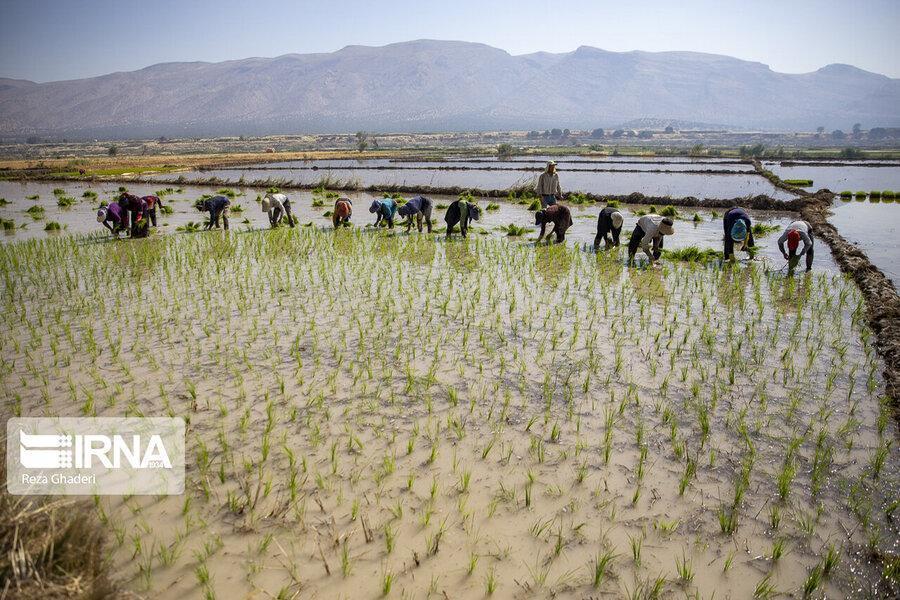 معاون وزیر نیرو: کاشت برنج در 17 استان فاجعه است