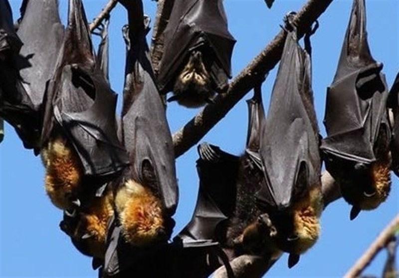 حمله گسترده خفاش ها به باغات در پاکستان