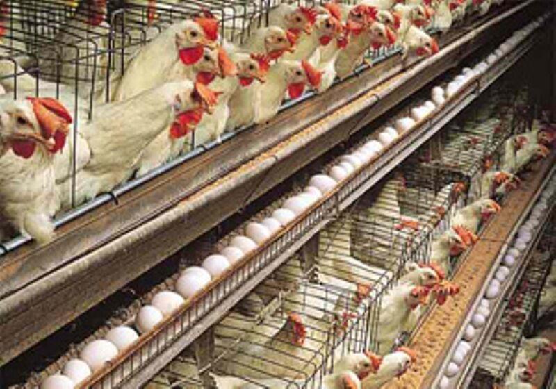 خبرنگاران موردی از آنفلوآنزای پرندگان بین طیور استان مرکزی گزارش نشده است