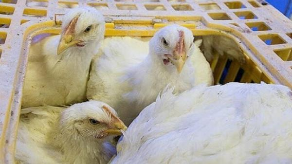 کامیون حامل مرغ زنده قاچاق در بیرجند متوقف شد