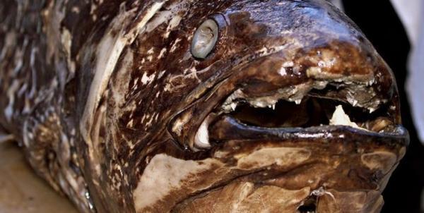 شناسایی یک ماهی که 100 سال زنده می ماند